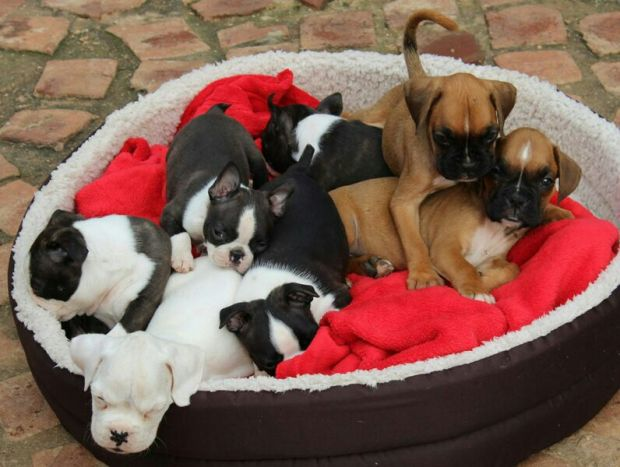 Rue in the middle with some of her sister and brothers and her Boxer friends